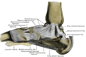 Anatomy of the ankle, ligaments provide stability in the ankle joint, overstretching of these ligaments can result in a sprain