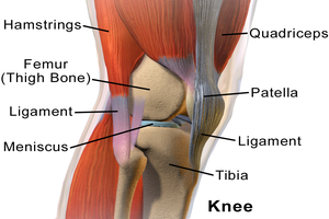 Anatomy of the knee joint including the bones (femur, tibia, patella) and some ligaments and muscles