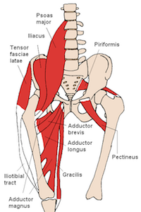 Iliopsoas muscle made up of the iliacus and psoas major