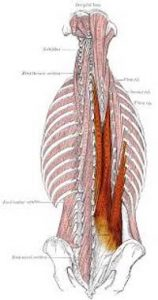 Erector Spinae muscles play an important role in maintaining posture