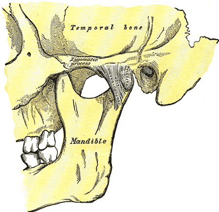 the mandible or jaw bone meets the temporalis bone