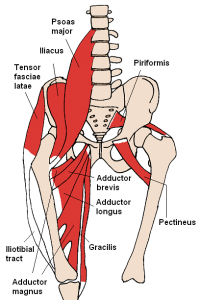 Anatomy of the hip joint including muscles/tendons involved in snapping hip syndrome