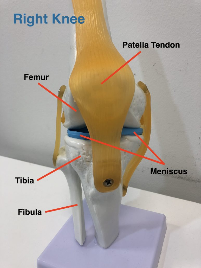Diagram of the knee joint - mensicus, femur, tibia, fibular  and some ligaments and tendons