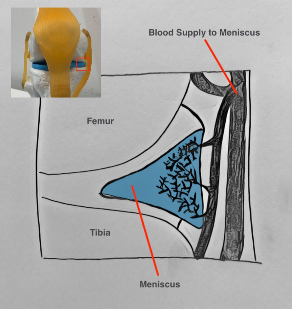 Blood supply to the meniscus cartilage is poor - this leads to longer healing times from meniscus injury