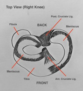 The Meniscus are cartilage which act as shock absorbers for the knee joint - injury can lead to clicking, popping, locking and pain