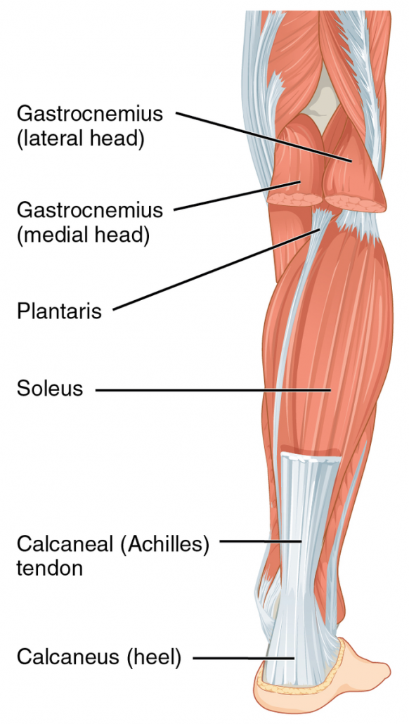 Diagram of the leg showing the achilles tendon - uninjured