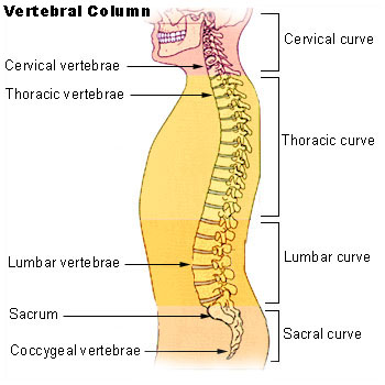 Anatomy of the spine including thoracic spine