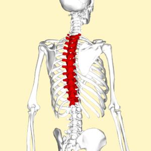 Anatomy of thoracic spine