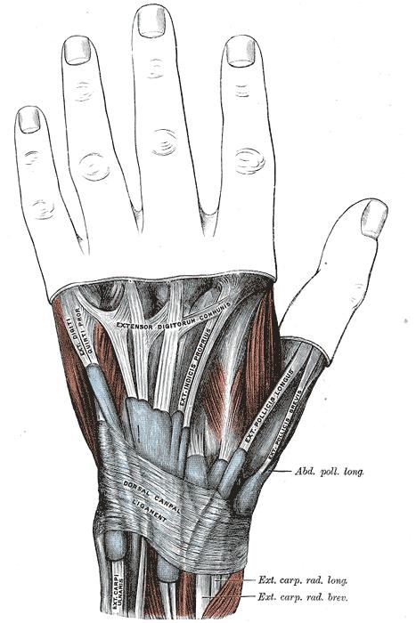 De Quervain's Tenosynovitis anatomy of the wrist